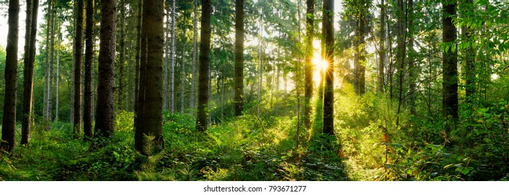Panorama of a forest at sunrise