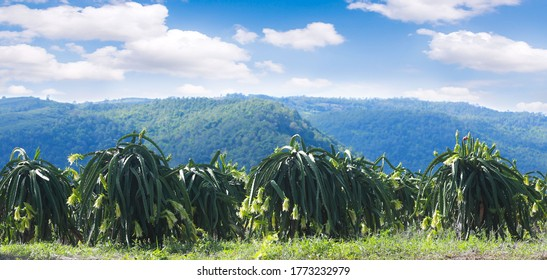 Panorama Garden dragon. Dragon fruit on plant, Raw Pitaya fruit on tree, A pitaya or pitahaya is the fruit of several cactus species indigenous to the Americas.
