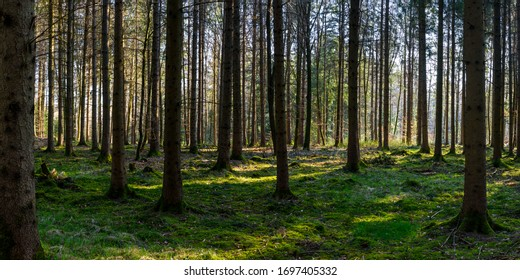 Panorama of green forest landscape in spring time and green moss, sun light shining through the woods