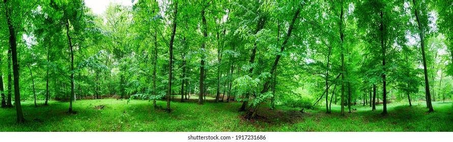 Panorama of  green forest at spring landscape