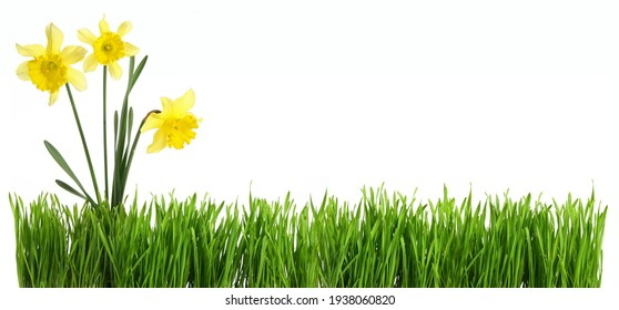 Panorama green grass with daffodil bouquet  cut out and isolated on white background for template and banner design.concept of spring season and french easter holidays