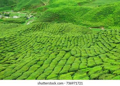 Panorama green tea plantation view