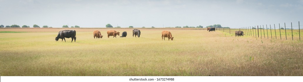 Panorama group of black and brow cows grazing grass on large ranch with metal wire fencing in Waxahachie, Texas, America. Pasture raised cattle on prairie under cloud blue sky at farm ranch.