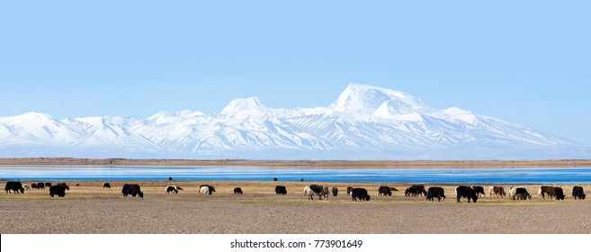Panorama of Gurla Mandhata peak, Manasarovar lake and herd of yaks in Tibet, Himalayas. Gurla Mandhata is the highest peak of the Nalakankar Himal, a small subrange of the Himalaya.