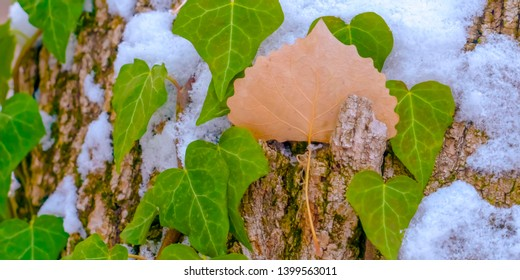Panorama Heart shaped vines growing on the brown trunk of a tree with algae and snow