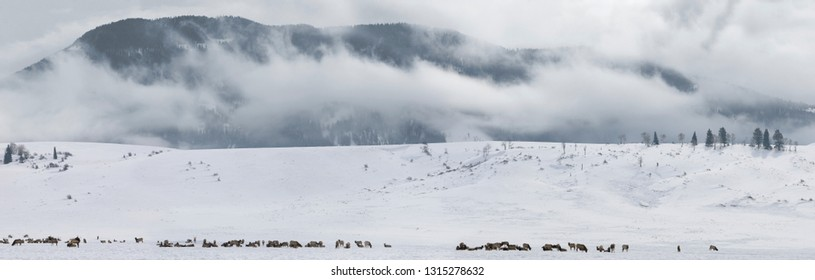 Panorama of herd of Elk wintering at the National Elk Refuge in Wyoming with Millers Butte and low cloud at Table mountain