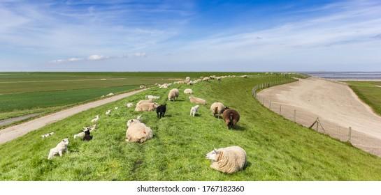 Panorama einer Schafherde auf einem Deich im Wattenmeer in Friesland, Niederlande