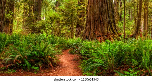 Panorama of a hiking trail in California's Redwood Park