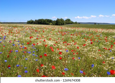 Panorama of the holiday island Ruegen in spring with poppies and corn flowers