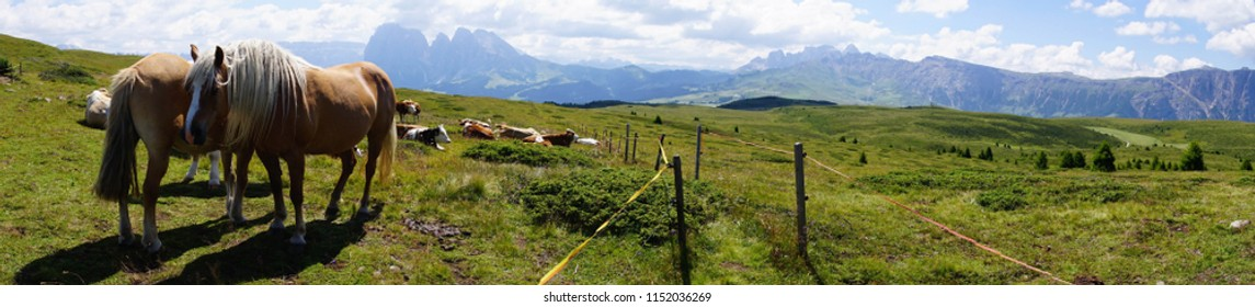 Panorama of horses and cows grazing and resting on an alm pasture of the Dolomites Alps, Italy