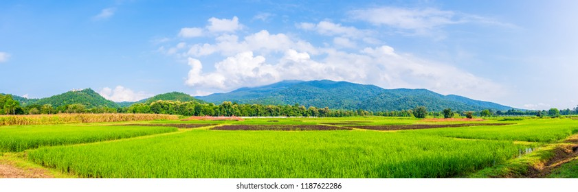 panorama image of beauty sunny day on the rice field with blue sky and mountain in background at Doi Suthep Chiang Mai,Thailand .