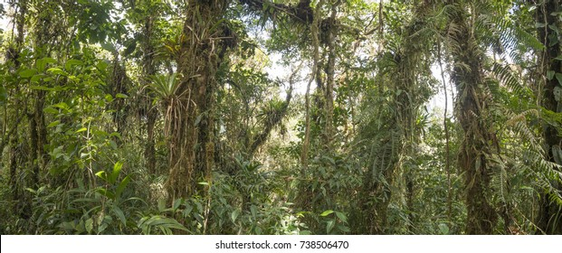 Panorama of the interior of montane rainforest with mossy tree trunks and many epiphytes in the  Cordillera del Condor, a site of high biodiversity and endemism in southern Ecuador.