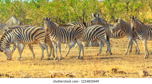 Panorama of Kruger National Park, South Africa. Group of zebras lined up in natural habitat. Game drive safari. The Zebra belongs to the horse and stands out for the unique black stripes.