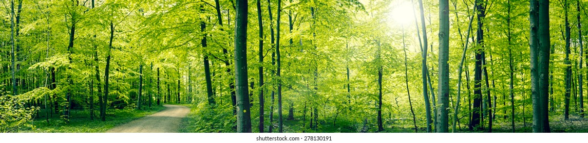 Panorama landscape of a beech forest in the spring
