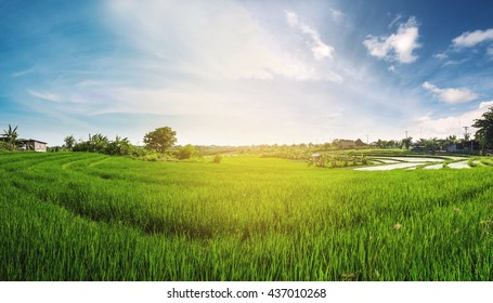 Panorama landscape, green rice field with blue sky in the sunrise morning