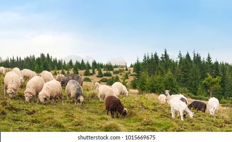 Panorama of landscape with herd of sheep graze on green pasture in the mountains. Young white and brown sheep graze on the farm.