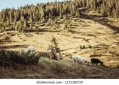 Panorama of landscape with herd of sheep graze on green pasture in the mountains. Young white, blsck and brown sheep graze on the farm.