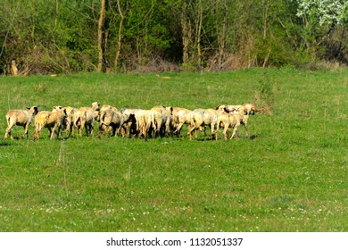 Panorama of the landscape with a herd of sheep grazing on the green pasture in the mountains. Young white, blue and brown sheep graze on the farm.