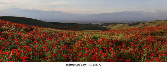 Panorama landscape with poppies in the mountains of Uzbekistan.