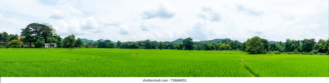 panorama landscape of rice field with blue sky and cloud and tree background.