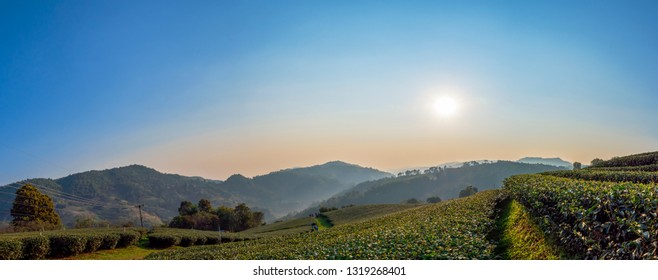 Panorama landscape of tea farm with sun rise in the morning at Chiangrai, Thailand