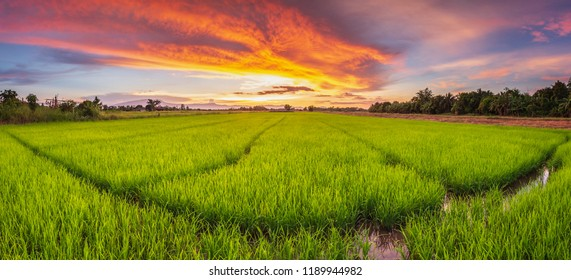 Panorama landscape of young green rice field and beautiful sky sunset in Thailand