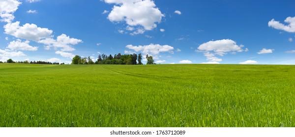 Panorama auf ein großes Feld mit junger grüner Gerste, hinter dem einige Bäume und blauer und weißer Himmel