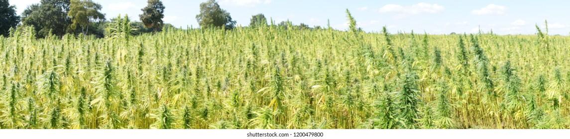 Panorama of large hemp cannabis field