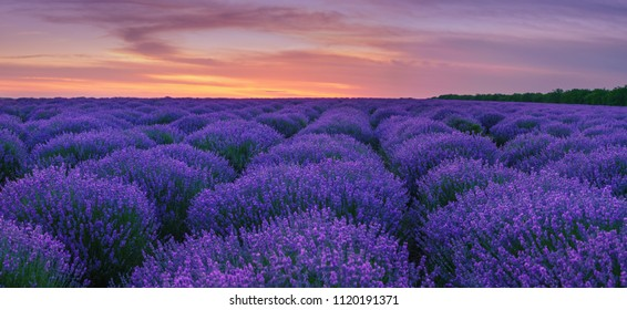 Panorama of lavender rows on lavender field at summer sunset.