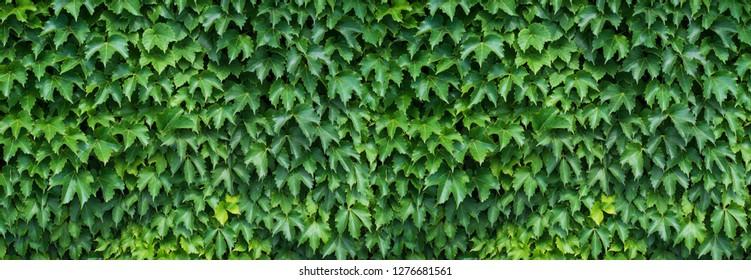 Ivy Wallpaper Images Stock Photos Vectors Shutterstock
