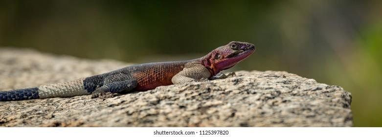 Panorama of male agama lizard in close-up