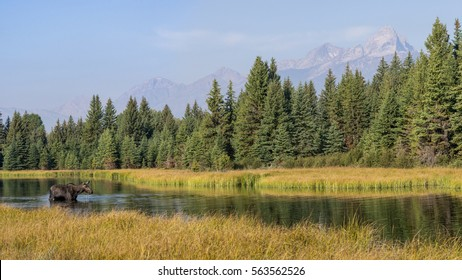 Panorama of a moose wading in the Snake River of Grand Teton National Park, surrounded by tall grasses. The Cathedral Group of mountains rise above a forest of pine trees in the background.