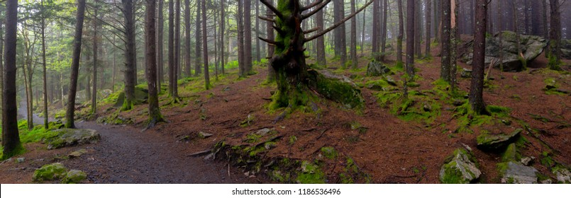 Panorama of Mossy Forest Floor on foggy summer day