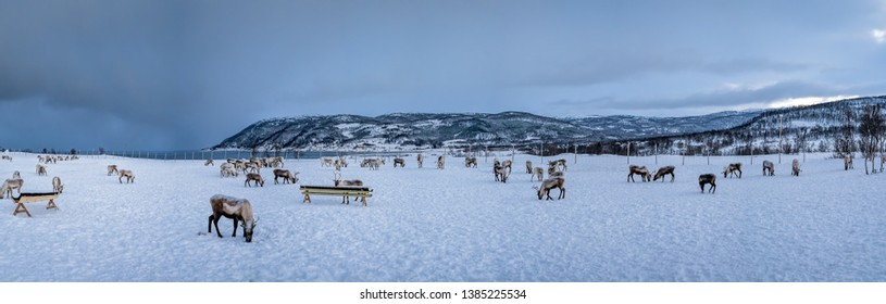 Panorama of mountain winter landscape with Reindeers wandering in snow, Tromso region, Northern Norway