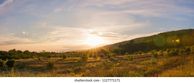 panorama of olive trees plantation at sunset.