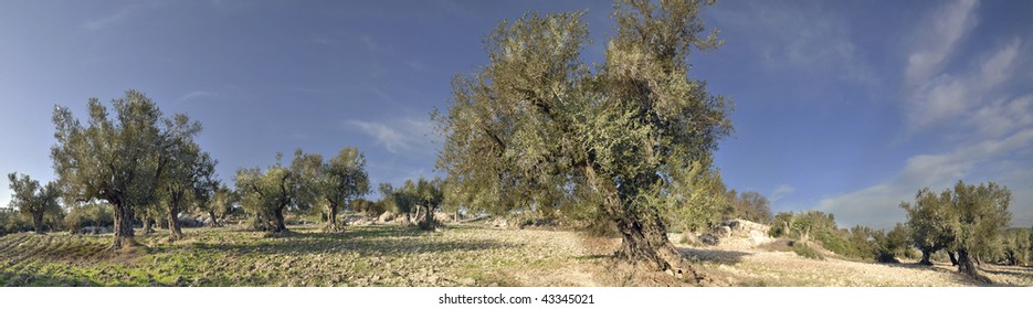 Panorama of the Olives Trees in Israel