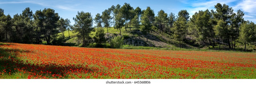 Panorama on a field of poppies with trees in the background