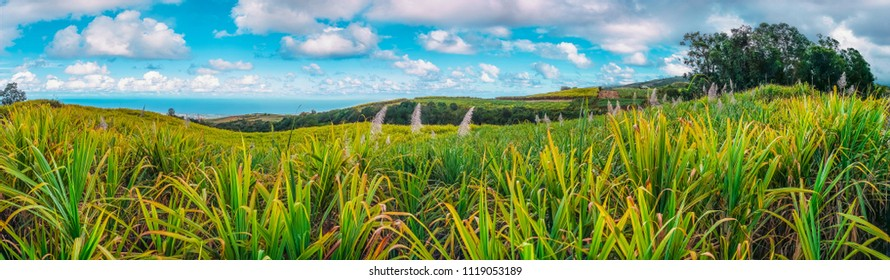 Panorama on sugar cane fields in flower in the heights of Reunion Island