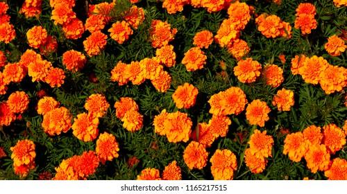 Panorama of orange garden flowers. Flowers marigolds in a city flowerbed. Flower panorama of blooming marigold.