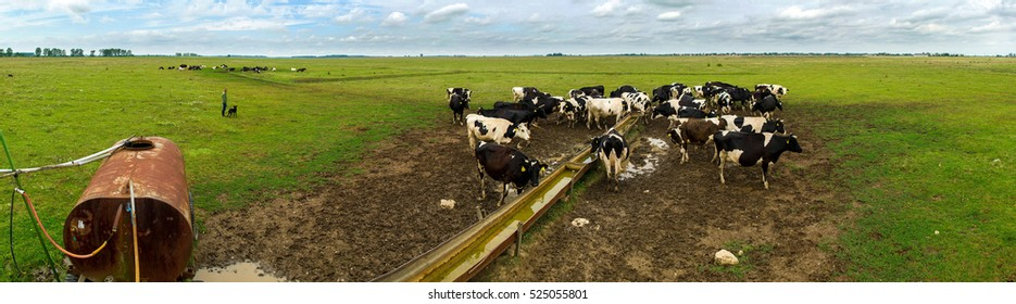 Panorama photo of Holstein cattle drinking water in a country field