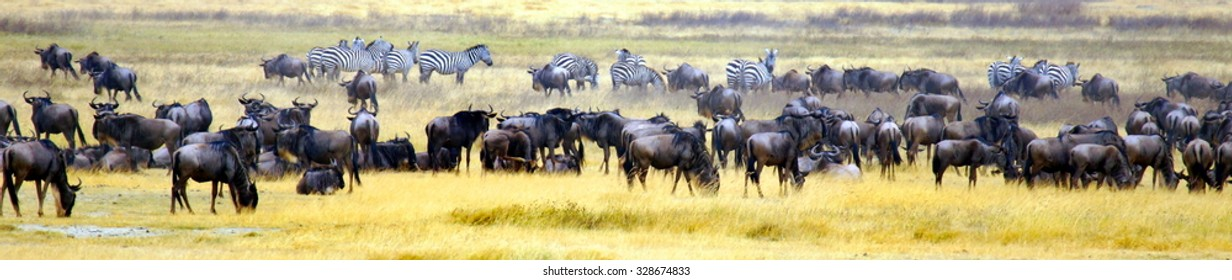 panorama photograph from the wildebeast and zebra' migration  in africa