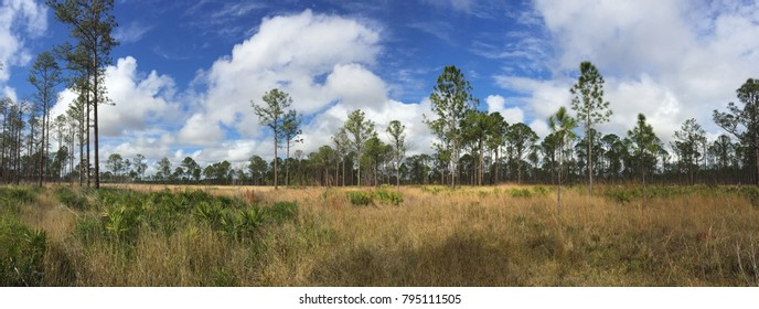 Panorama of pine flat woods and savannah in Avon Park, florida.