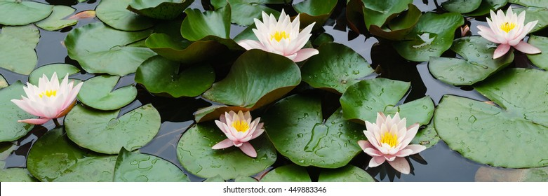 panorama pink flowers of water lilies on a pond