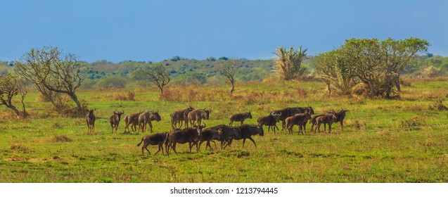 Panorama of plains landscape of Kruger National Park, South Africa. Group of Wildebeests, Connochaetes Gnou, walks in the savannah. The Gnu is a genus of antelopes of the family Bovidae.