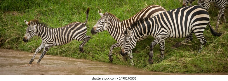 Panorama of plains zebra jumping into river
