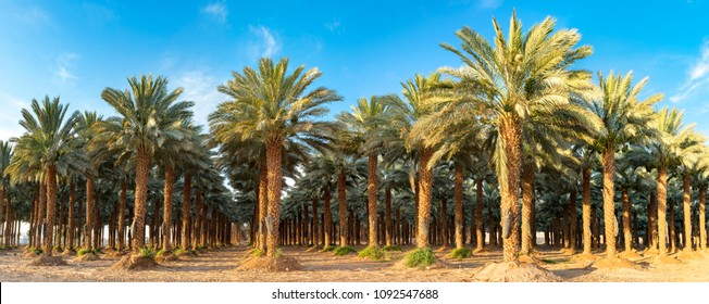 Panorama. Plantation of date palms. Image depicts advanced tropical agriculture in the Middle East