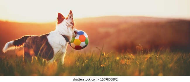 Panorama, portrait of a cute young dog with a ball, sunrise or sunset landscape background with copyspace
