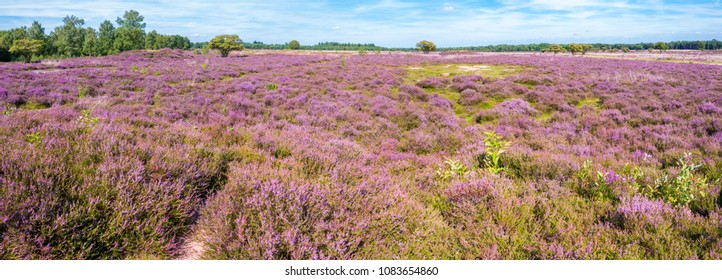 Panorama of purple blooming heath landscape in summer in nature reserve in Gooi between Hilversum and Laren, Noord-Holland, Netherlands