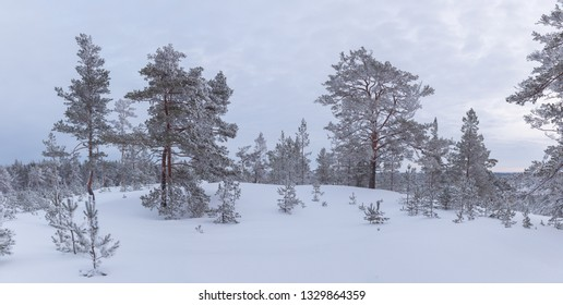 Panorama of Rarely standing trees covered with frost and snow