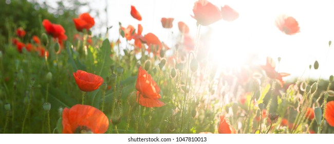 panorama of a red poppy field in the sunrise, horizontal shot with blue sky and twilight